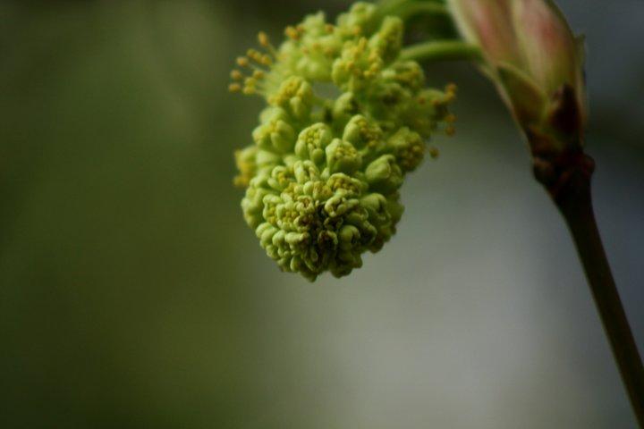 mapleblossom